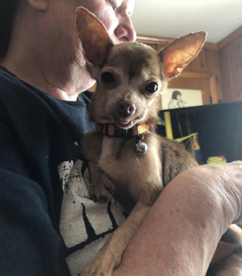 Dog For Adoption Chili Mia Sweetie A Chihuahua In Columbia Tn Petfinder