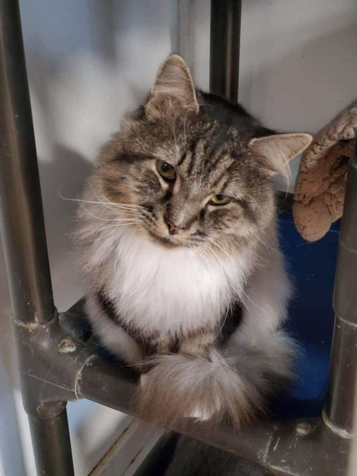 Joey, an adoptable Maine Coon in Dallas, PA