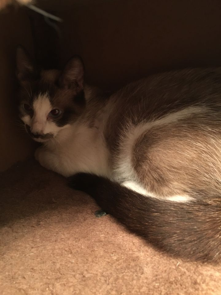 Whispurr, an adopted Siamese & Domestic Short Hair Mix in Troy, VA