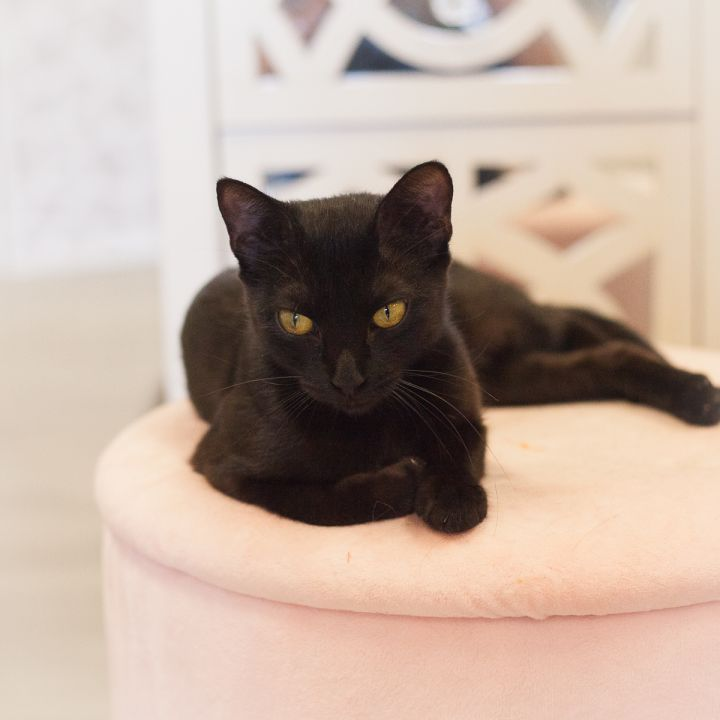 Ariana, an adopted Domestic Short Hair in Ponte Vedra, FL
