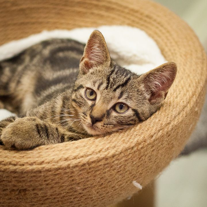 Macintosh, an adopted Extra-Toes Cat / Hemingway Polydactyl & Domestic Short Hair Mix in Ponte Vedra, FL