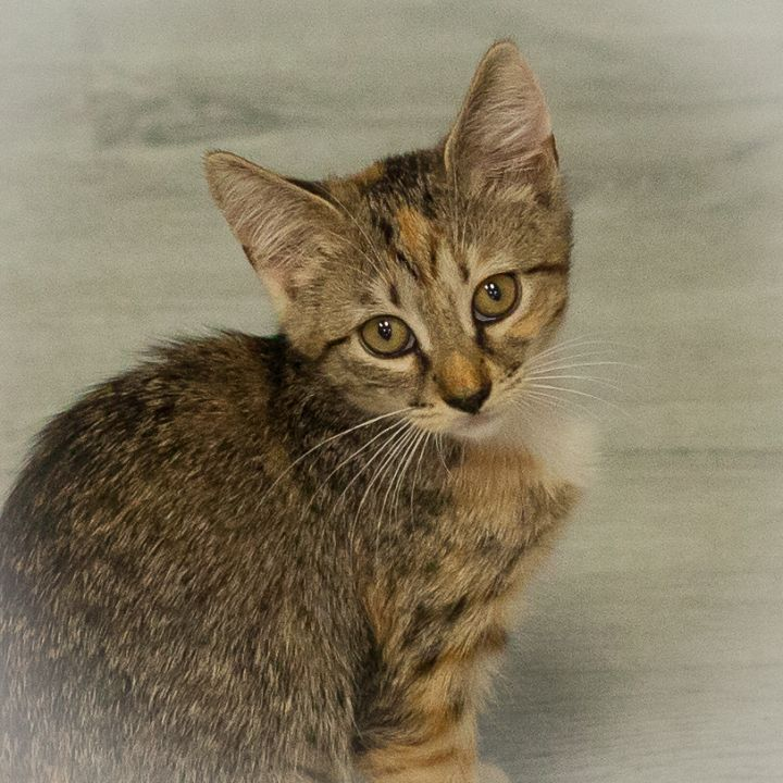 Lilo, an adopted Torbie in Ponte Vedra, FL