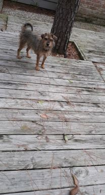 Bo, an adopted Terrier Mix in Plantersville, TX_image-5