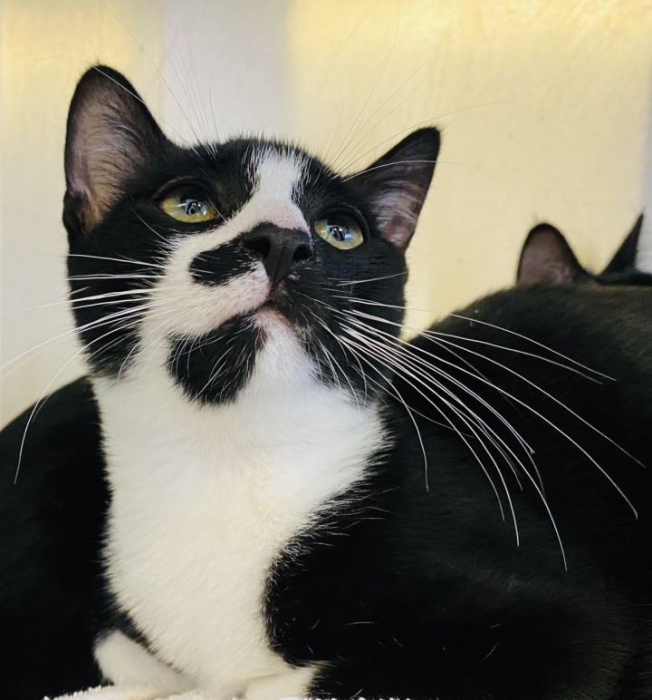Harpo Marx, an adopted Domestic Short Hair Mix in Los Alamitos, CA