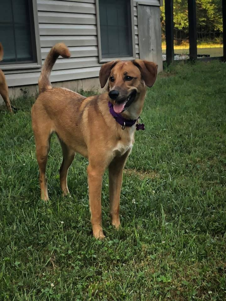 Kahli, an adopted Black Mouth Cur & Hound Mix in Springfield, MO