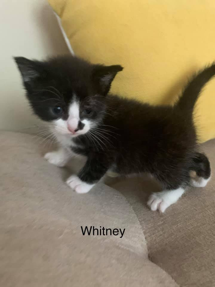 Whitney, an adoptable Domestic Short Hair Mix in Springfield, MO