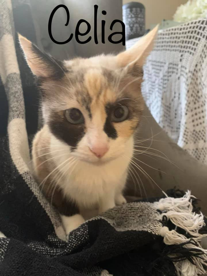 Celia, an adoptable Domestic Short Hair Mix in Springfield, MO