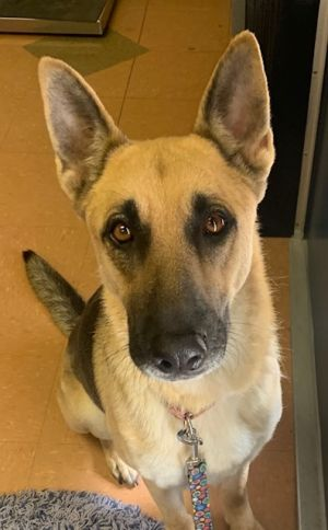 Milena Is a 4 to 5-year-old German Shepherd female She is vaccinated and microchip and spayed She