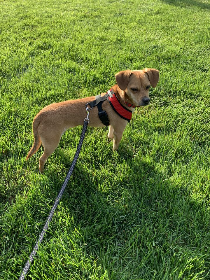 Harley (Davidson), an adoptable Chihuahua Mix in Mentor, OH