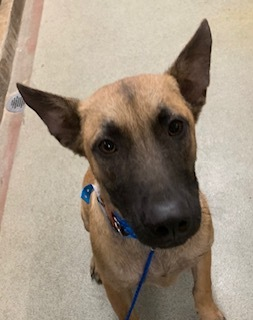 Willow is a six-month-old Belgian Malinois female She is vaccinated and will be spayed before Adopt