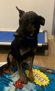 Flash is a 6 to 8 month old shepherd mix who is very petite but also underweight He is very