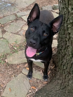 Deedee is an 11-month-old Belgian Malinois pitbull mix She weighs around 60 pounds and is spayed an