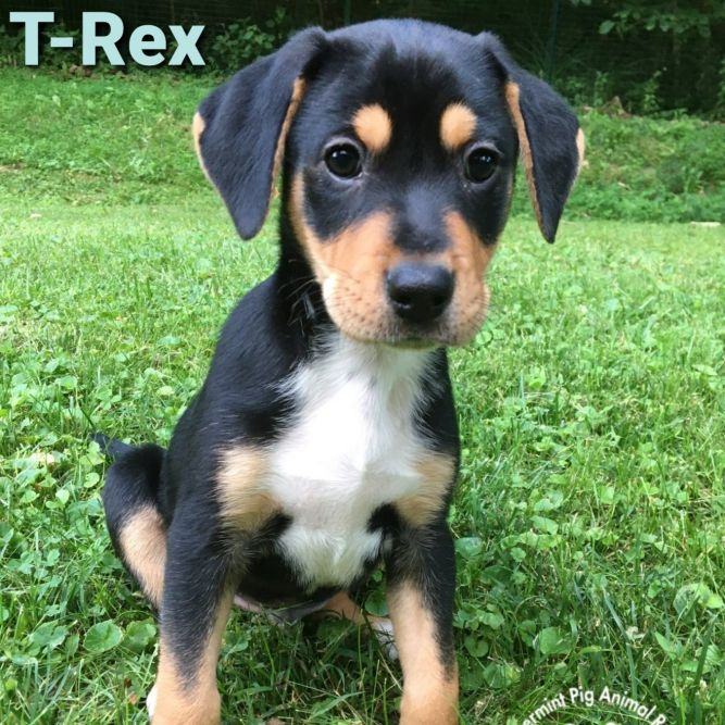 T Rex ADOPTION PENDING