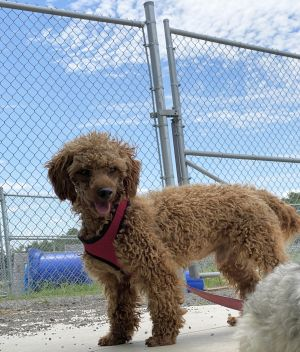 Dog For Adoption Sheldon A Poodle In Mechanicsburg Oh Petfinder