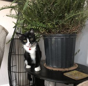 Cat For Adoption Hudson A Domestic Medium Hair Ragdoll Mix In Cedar Park Tx Petfinder