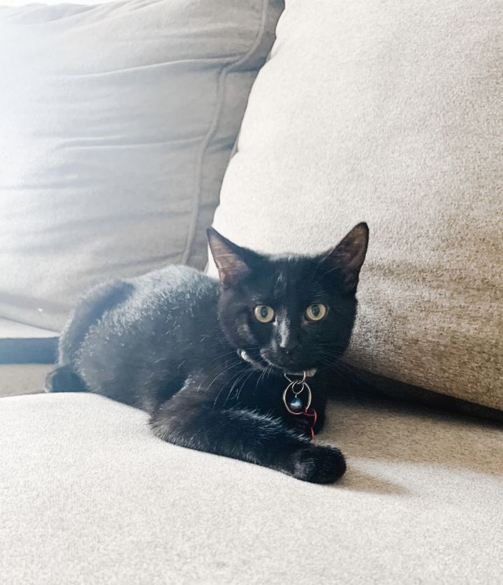 Marlin, an adoptable Domestic Short Hair Mix in Springfield, MO