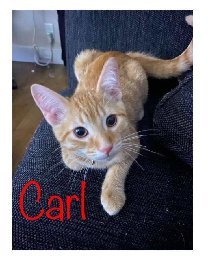 Carl, an adoptable Domestic Short Hair & Tabby Mix in Kentwood, MI