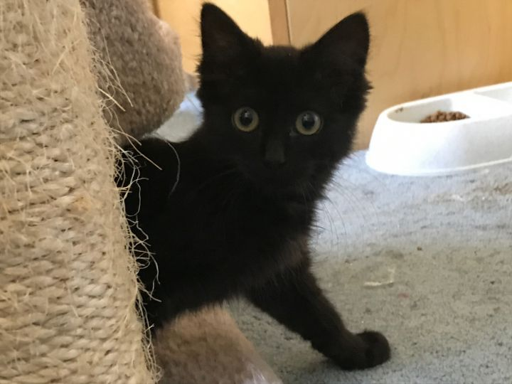 Onyx, an adopted Domestic Medium Hair Mix in Stanford, CA