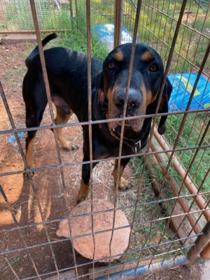 Zebulon is a beautiful Black and Tan Coonhound between 2-3 years old He grew up on a horse farm wit