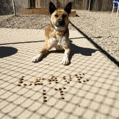 KENZIE, an adoptable Belgian Shepherd / Malinois & Border Collie Mix in Albuquerque, NM