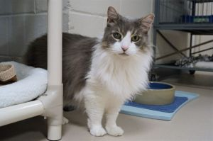 Captain is our 11 year old senior long haired neutered male He is sensitive to change and will nee