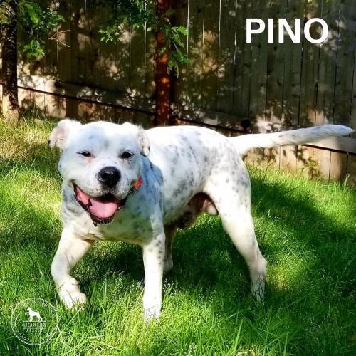 Pino, an adoptable Boxer in Battle Ground, WA