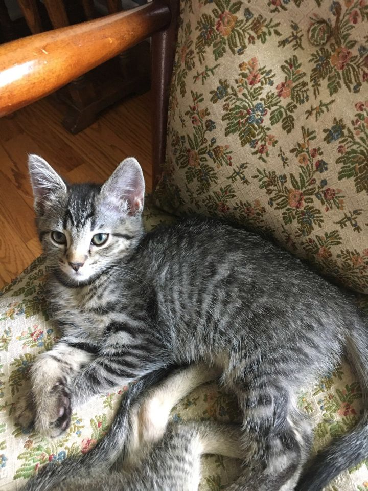 Pinkie, an adopted Tabby Mix in Hainesville, IL
