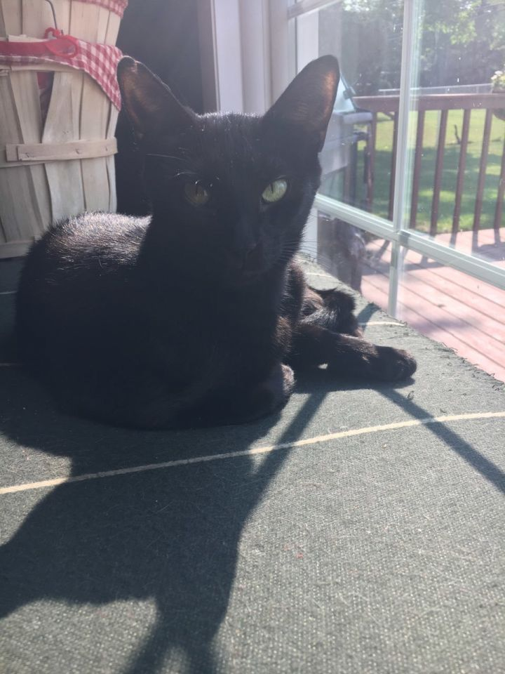 Tiana, an adoptable Domestic Short Hair in Hainesville, IL