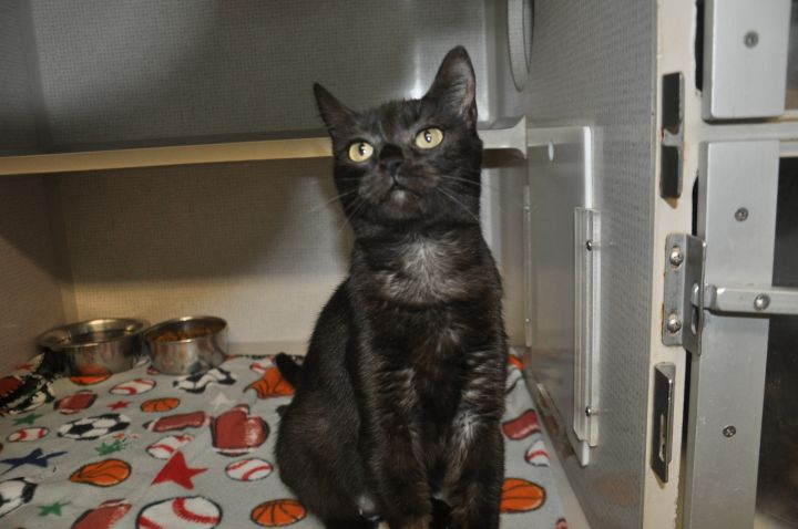 Kiki, an adoptable Domestic Short Hair in Milledgeville, GA