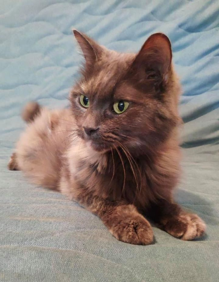 Ivy, an adopted Domestic Medium Hair in Montreal, QC