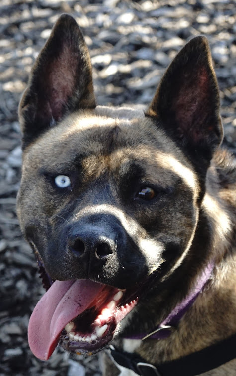 Maverick, an adopted Pit Bull Terrier & Akita Mix in Bellingham, WA