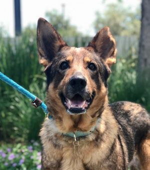 This gorgeous lady is Daphne Daphne is a 5-6 year old female German Shepherd that has not had the n
