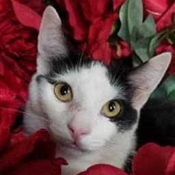 Cats For Adoption Near Garden Grove Ca Petfinder