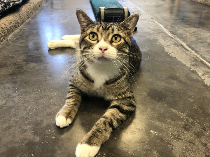 Mort, an adoptable Tabby in Pierre, SD