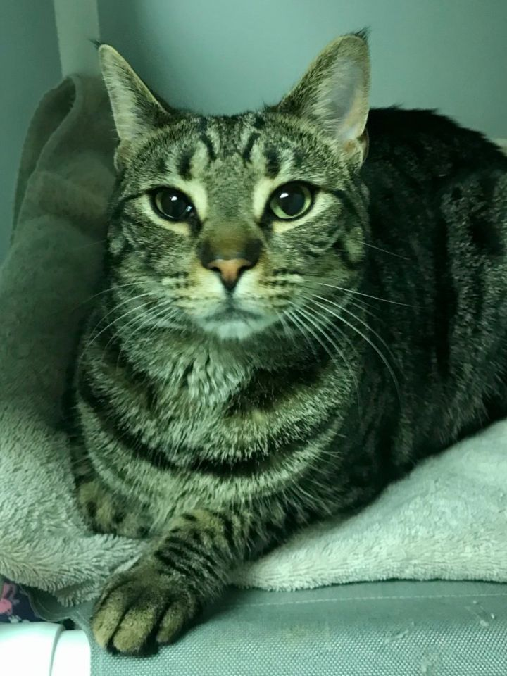 Timone, an adoptable Domestic Short Hair in Warminster, PA
