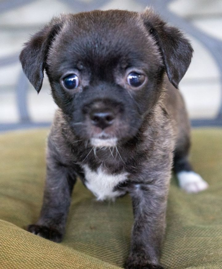 Piper, an adopted Chihuahua & Shih Tzu Mix in Atlanta, GA_image-1