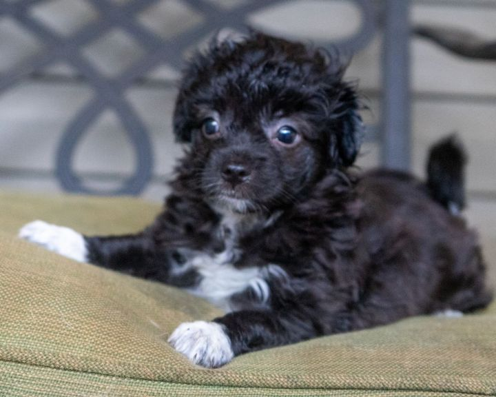 Poppy, an adopted Shih Tzu & Poodle Mix in Atlanta, GA_image-3