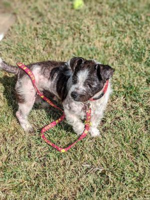 Breed Terrier mix Age 9 yrs Weight 16 lbs Good with dogs yes Good with cats unsure Good with