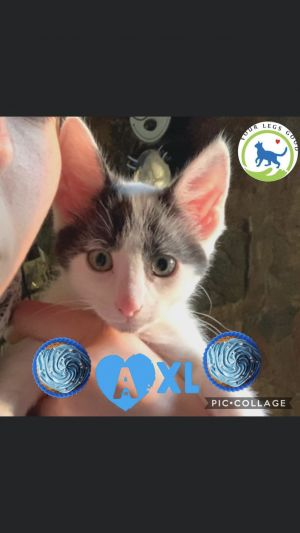 The loneliest one of all  Axl is the last of his litter looking for his foreve