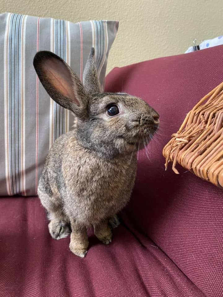 Dashiell, an adopted Bunny Rabbit in Livermore, CA