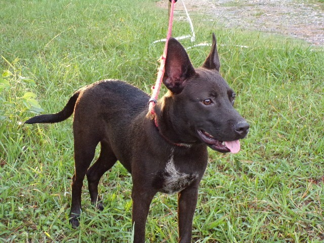 Arlo, an adoptable Pit Bull Terrier & Shepherd Mix in Hudson, NH