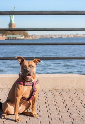 ZENA - 2 years old Pit Mix Female 50lbs Medium Active Older Kids Only Must Have Primary Dog Ow
