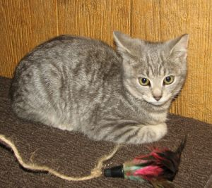 Classic gray tabby Sweet and adorable Loves people and wants a lovable home L