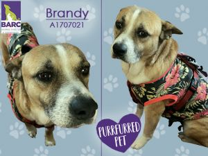 Brandy LOVES her daily walks giving kisses to her foster dog sibling and munching on treats She i