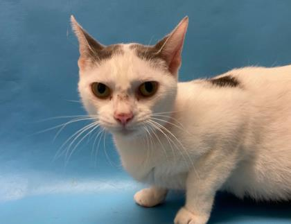 Cat For Adoption Smeagol A Domestic Short Hair In Coon Rapids Mn Petfinder