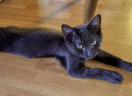 Beau, an adoptable Domestic Short Hair Mix in Springfield, OR
