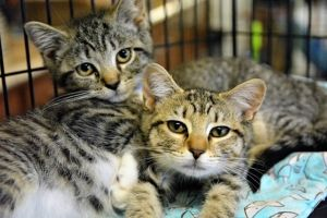 These male  female kittens are as cute as they come These beauties will steal your hearts in any a