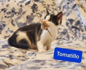 Tomatillo is an adorable 12-week-old male kitten looking for a loving home He is playful sweet and