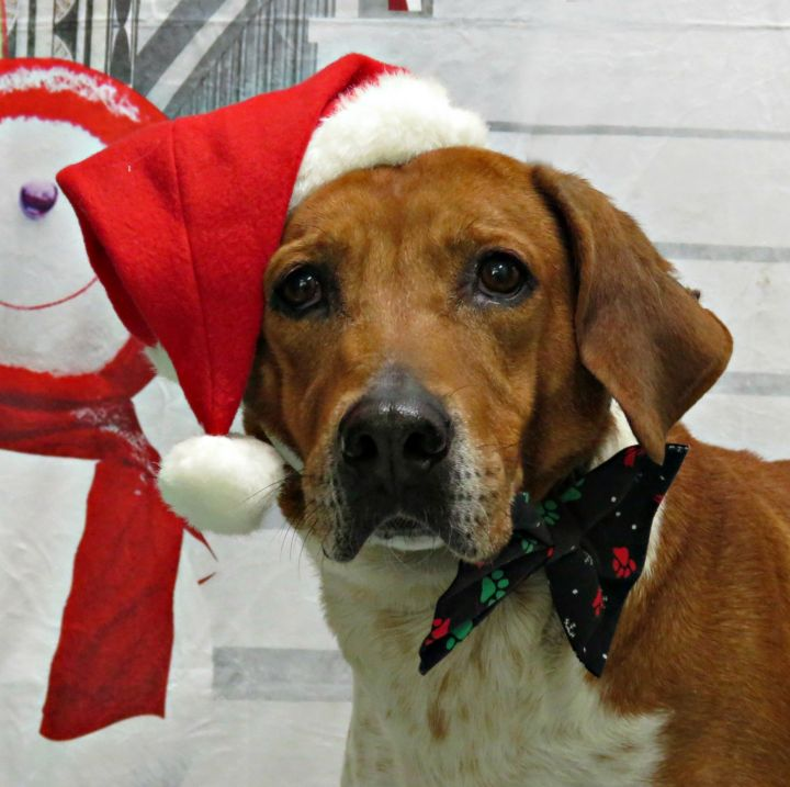 Chester, an adoptable Hound Mix in Lexington, VA