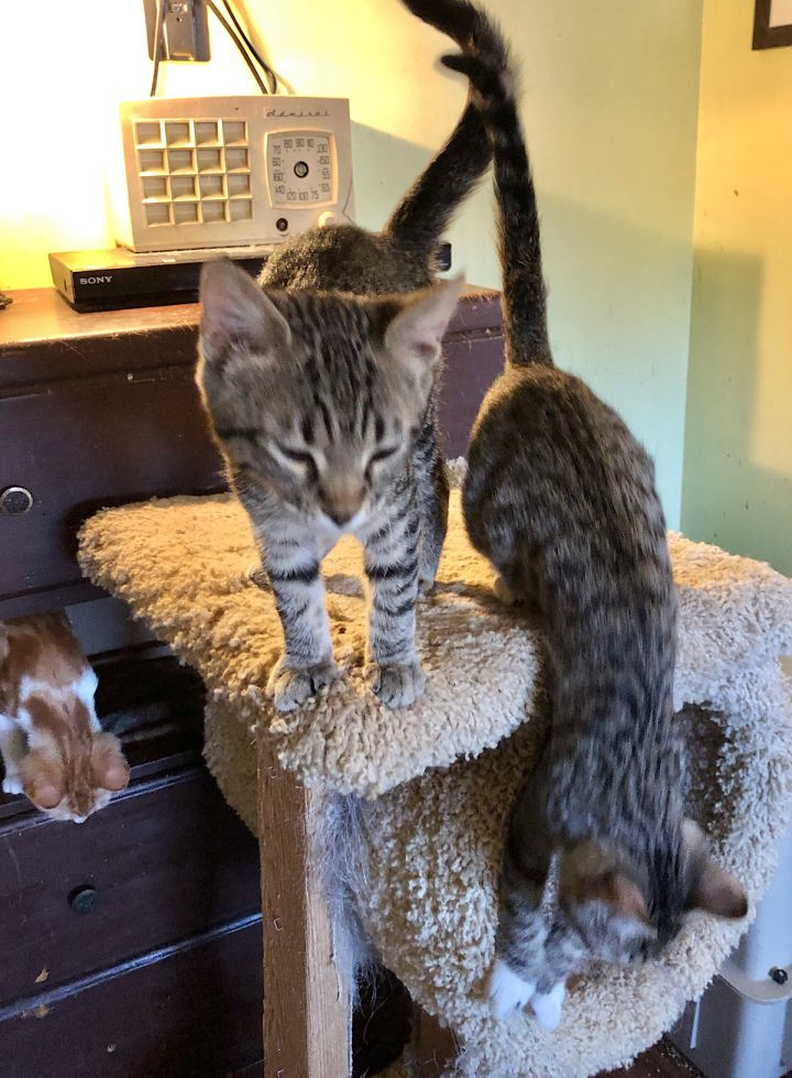 Pilar, an adoptable Tabby & Egyptian Mau Mix in Mission Viejo, CA